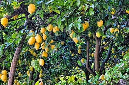 citroenen aan de boom