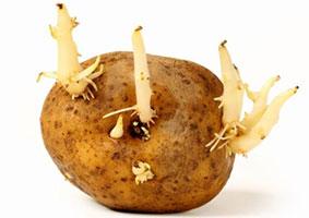 levende aardappel