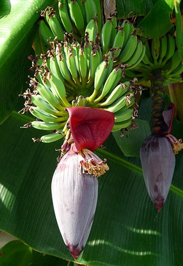 bananen aan de boom